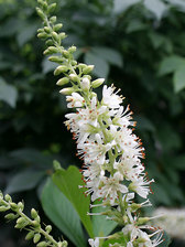 Clethra Sugartina Crystalina