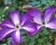 Clematis Venosa Violacea