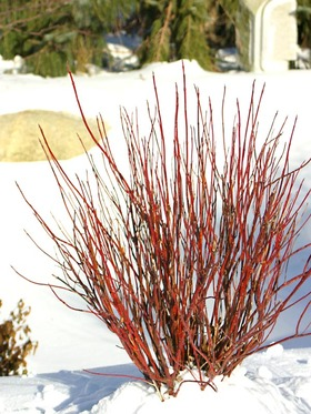 SHRUB The wonderful winter interest of Red Twig Dogwood on a smaller scale