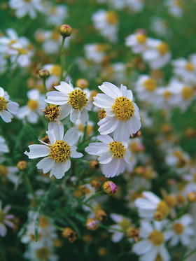 Yellow-eyed white flowering form