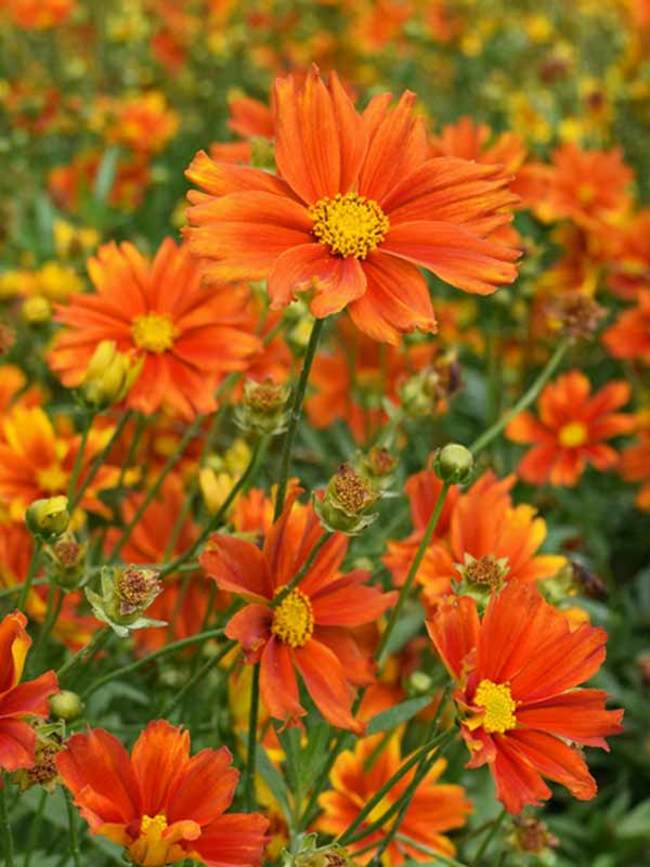 Coreopsis Darling Clementine