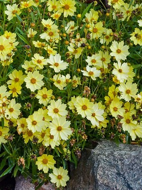 "Large canary yellow flowers can reach 3"" across."