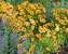 Coreopsis Uptick Gold and Bronze