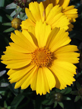 Coreopsis Goldfink