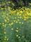 Coreopsis Gold Standard