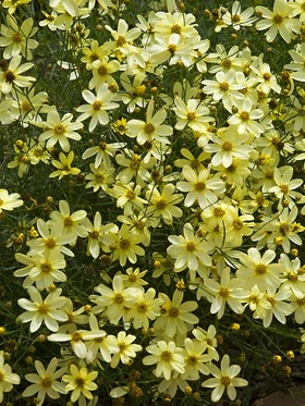 Pale yellow, One of the best. Flowers long and profusely