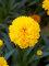 Coreopsis Moonswirl
