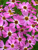 Coreopsis Pink Sapphire