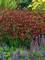 Coreopsis Red Satin
