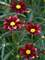 Coreopsis Red Elf