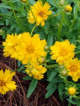 Cheerful golden yellow, semi-double blooms.