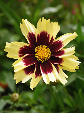 Photo of Coreopsis Super Star