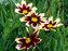 Coreopsis Super Star