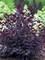Cotinus Winecraft Black