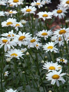 PERENNIAL OF THE YEAR 2003 Shasta Daisy