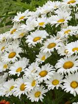 Chrysanthemum Daisy May®