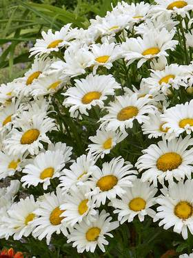 "Pure white 3-4"" single daisies."