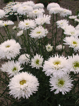 Some variation in these fluffy white flowers. Shasta Daisy