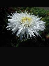 Chrysanthemum Sante