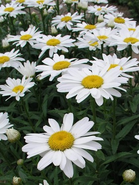 Compact dwarf with white flowers - Shasta Daisy