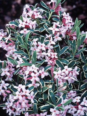 DACM 0 Daphne Carol Mackie Great Shrub for High Plains