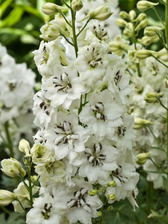 Delphinium Black Eyed Angels