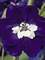 Delphinium Dark Blue White Bee