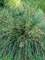 Deschampsia Goldtau