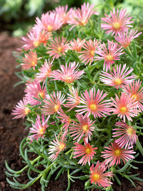 A real tough groundcover for that hot, dry, sunny spot in your garden.