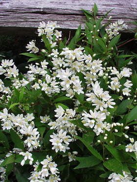 Great plant with white blossoms, low maintenace and easy to grow.