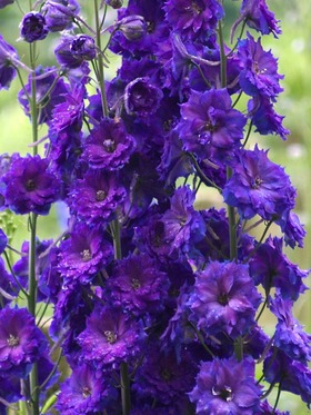Deepest satiny purple flowers with small or brown bees.