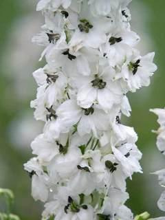 Perennials flowers perennials plants bluestone perennials mightylinksfo