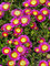 Delosperma Hot Pink Wonder
