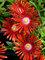 Delosperma Red Mountain Flame