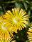 Delosperma Solstice Yellow