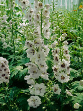 Delphinium White Dark Bee