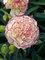 Dianthus Grace Bay
