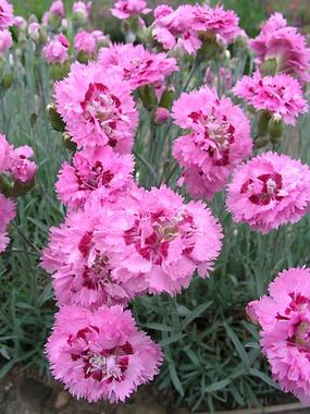 Pink with a darker eye. Exceptional fragrance