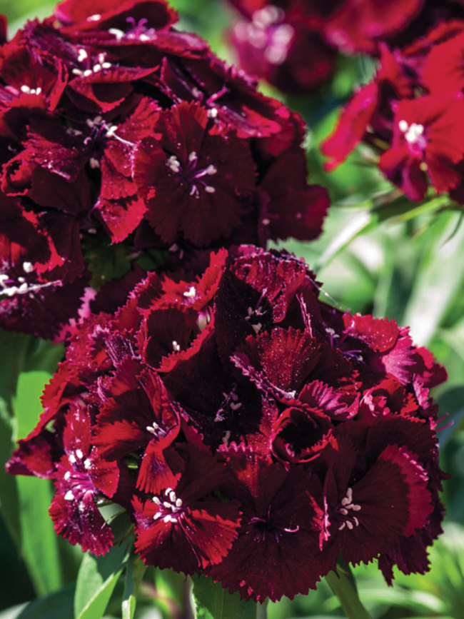 Dianthus Sweet Black Cherry