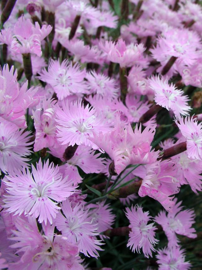 Dianthus Baths-Pink