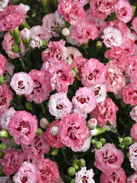 Photo of Dianthus Cute As A Button
