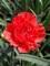 Dianthus Chili