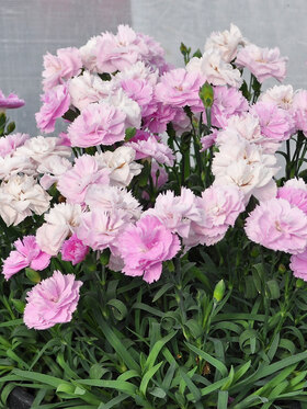 Photo of Dianthus Constant Beauty Pink