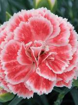 Dianthus Coral Reef