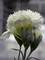 Dianthus Frosty