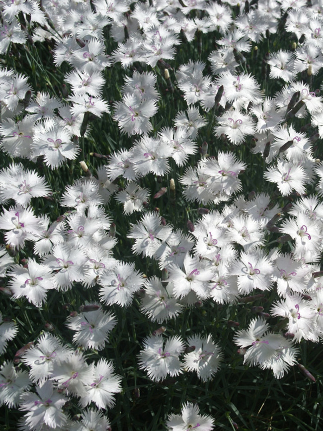 Dianthus Greystone