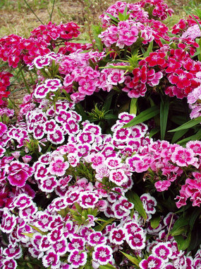 DWARF SWEET WILLIAM