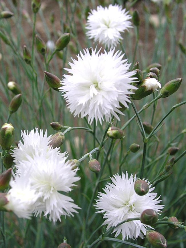 Dianthus Itsaul-White
