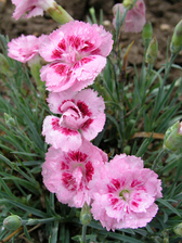 Dianthus Jan Louise