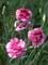 Dianthus Jan Louise
